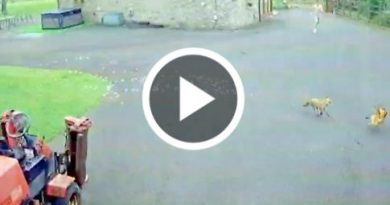 Hilarious Fox Chasing A Chicken