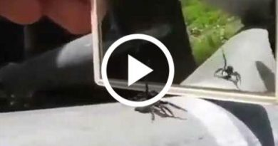 A Spider Reaction When It Sees Itself Infront Of A Mirror